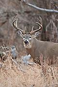 Whitetail deer (Odocoileus virginianus) Trophy whitetail buck from western Wyoming