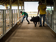 26 JUNE 2019 - CENTRAL CITY, IOWA: BRADY HOFPODARSKY looks for the stall for his crossbred barrow in the swine bar at the Linn County Fair. Summer is county fair season in Iowa. Most of Iowa's 99 counties host their county fairs before the Iowa State Fair, August 8-18 this year. The Linn County Fair runs June 26 - 30. The first county fair in Linn County was in 1855. The fair provides opportunities for 4-H members, FFA members and the youth of Linn County to showcase their accomplishments and talents and provide activities, entertainment and learning opportunities to the diverse citizens of Linn County and guests.       <br /> PHOTO BY JACK KURTZ