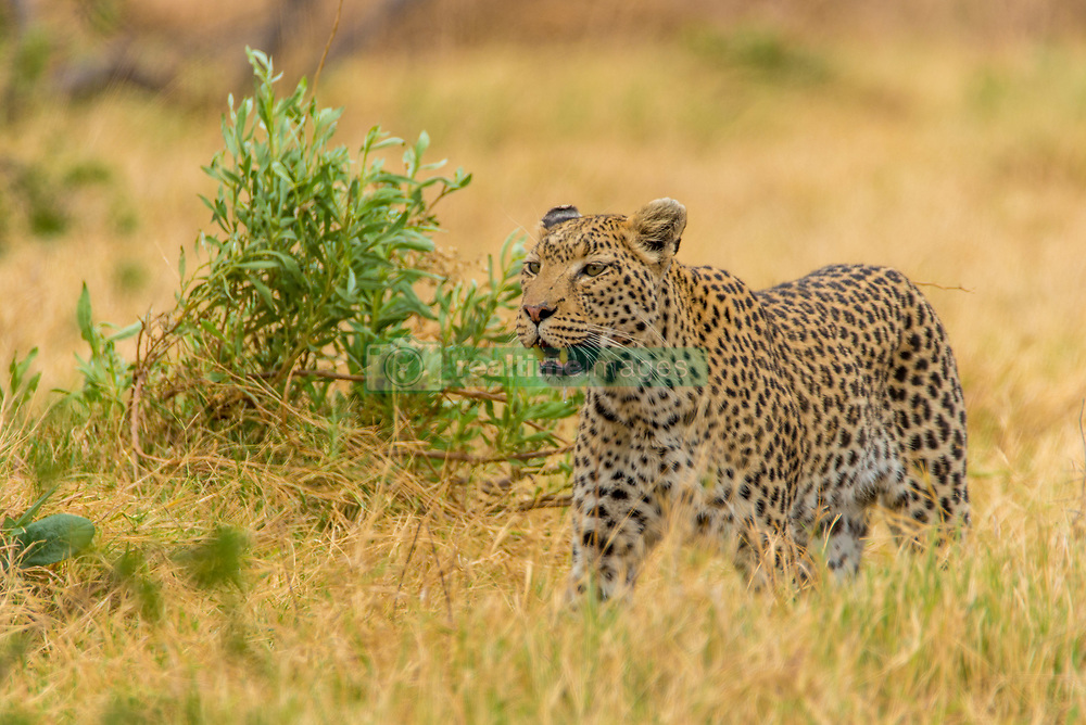 , Botswana - 10/27/2015 - (Photo by Shannon Wild/VWPics) *** Please Use Credit from Credit Field *** *** Please Use Credit from Credit Field ***