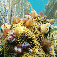Christmas tree worms on a coral in the pristine reefs off Cayos Cochinos, or the Hog Islands, located between Utila and Roatan off the coast of Honduras.  May, 2009.  (Photo/William Byrne Drumm)