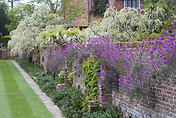 The Moat Walk at Sissinghurst Castle Garden. Erysimum 'Bowles' Mauve' growing in the walls with wisterias beyond