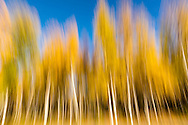 Creative motion blur of fall foliage of Aspen trees in Hope in Southcentral Alaska. Autumn. Afternoon.