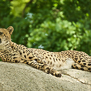 Cheetah chilling on a look out observing the surrounding.
