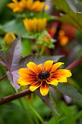 Rudbeckia hirta 'Rustic Dwarf' growing with Ricinus communis. Black eyed Susan, Coneflower