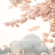 WASHINGTON DC - The flowering of thousands of cherry blossoms around the Tidal Basin in Washington DC is an annual spectacle that dates back over a century and is a highlight of the region's spring tourist season. The Jefferson Memorial is in the background.
