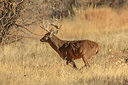 Whitetail buck running through grassy habitat.
