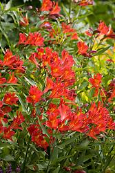 Alstroemeria 'Vesuvius' - Peruvian lily