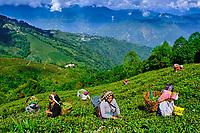 Inde, Bengale Occidental, Darjeeling, Domaine du thé de Phubsering, jardins de thé, cueillette du thé // India, West Bengal, Darjeeling, Phubsering Tea Garden, tea garden, tea picker picking tea leaves