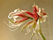 Fine art photograph of lovely amaryllis