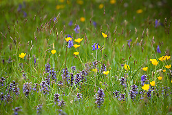 Bulbous buttercups, Bugle and bluebells growing in Exbury churchyard. Ajuga reptans, Hyacinthoides non-scriptus
