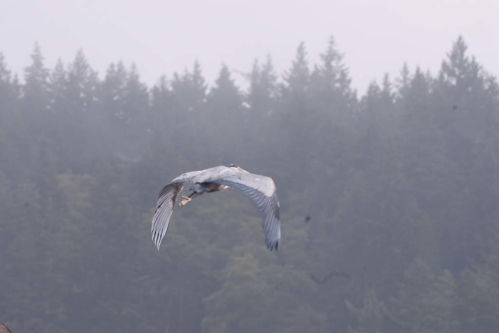Great Blue Heron (Ardea herodias) in Flight, Orcas Island, San Juan Islands, Washington, US