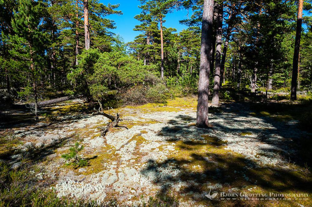 Sweden, Gotska Sandön national park. Forest central island.