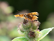 Comma Butterfly (Polygonia c-album) Kent, UK, nectaring on thistle flower