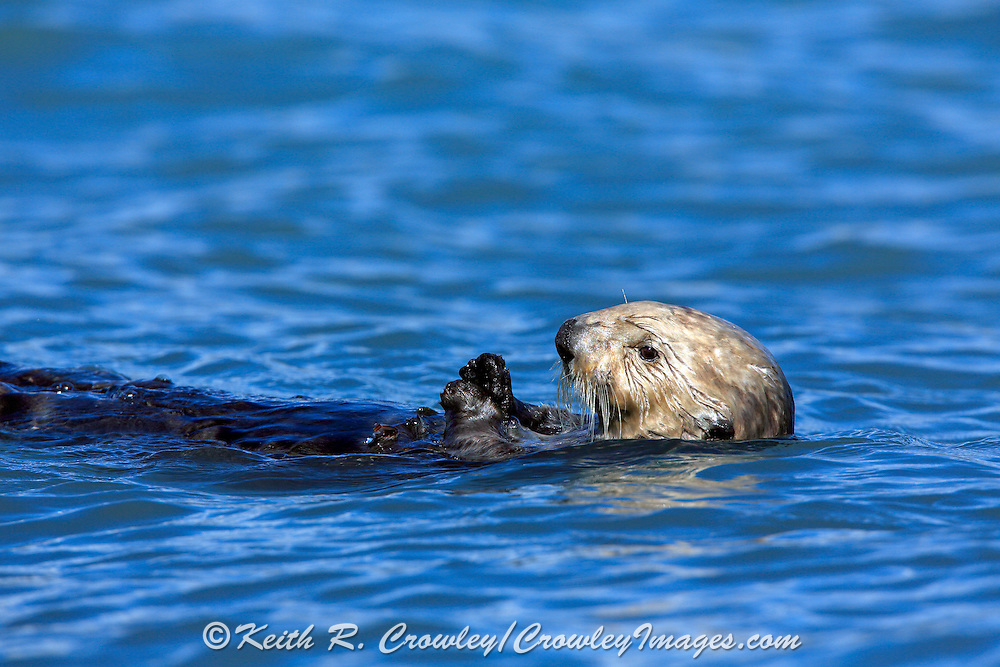A sea otter floats on it's back while eating on Kachemak Bay, in Alaska