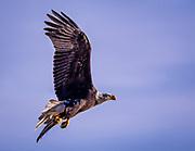 Bald Eagle in Flight, Darlington, MD.