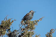 Two European Starlings perched on an Eastern Red Cedar