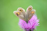 Large Wall Brown Butterfly, Lasiommata maera, Bucegi mountains high altitude, Brasov, Transylvania, Romania