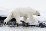 A male polar bear (Ursus maritimus) walking in deep snow steps down to walk on rocky beach, Svalbard, Norway, Arctic