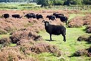 Hebridean sheep conservation grazing heather Suffolk Sandlings heathland, Shottisham, Suffolk, England