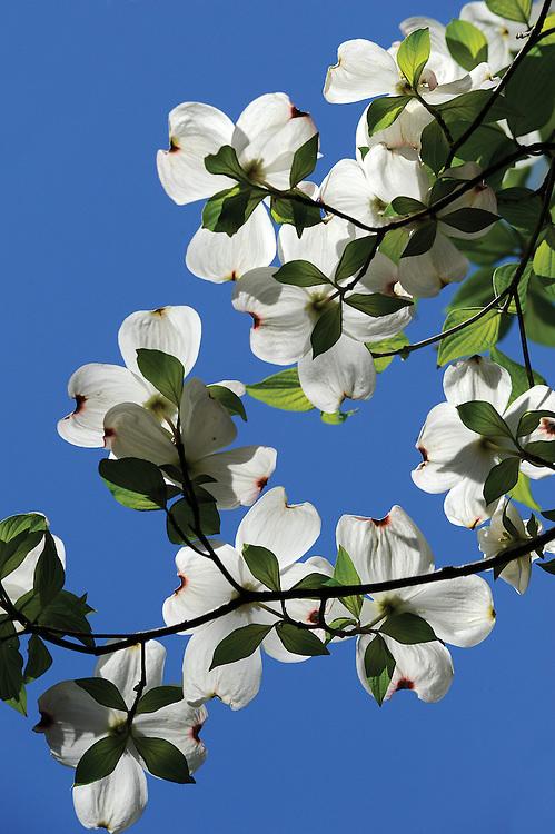 Dogwoods bloom in Northern Arkansas.