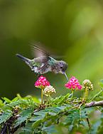Tufted Coquette female (Lophornis ornatus) feeding on flowers, in flight. Trinidad.