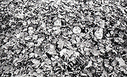 Fall leaves make for an almost perfect hiding place in the fall of 1977.  (Vic Condiotty / The Seattle Times)
