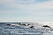 eastern spinner dolphins, Stenella longirostris orientalis, or Central American spinner dolphins, Stenella longirostris centroamericana, stampeding away from a pod of toothed whales, offshore from southern Costa Rica, Central America ( Eastern Pacific Ocean )