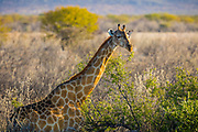 """The giraffe (Giraffa camelopardalis) is an African even-toed ungulate mammal, the tallest living terrestrial animal and the largest ruminant. Its species name refers to its camel-like shape and its leopard-like colouring. Its chief distinguishing characteristics are its extremely long neck and legs, its horn-like ossicones, and its distinctive coat patterns. It is classified under the family Giraffidae, along with its closest extant relative, the okapi. The nine subspecies are distinguished by their coat patterns.<br /> <br /> The giraffe's scattered range extends from Chad in the north to South Africa in the south, and from Niger in the west to Somalia in the east. Giraffes usually inhabit savannahs, grasslands, and open woodlands. Their primary food source is acacia leaves, which they browse at heights most other herbivores cannot reach. Giraffes are preyed on by lions; their young are also targeted by leopards, spotted hyenas, and African wild dogs. Giraffe are gregarious and may gather in large aggregations. Males establish social hierarchies through """"necking"""", which are combat bouts where the neck is used as a weapon. Dominant males gain mating access to females, which bear the sole responsibility for raising the young."""