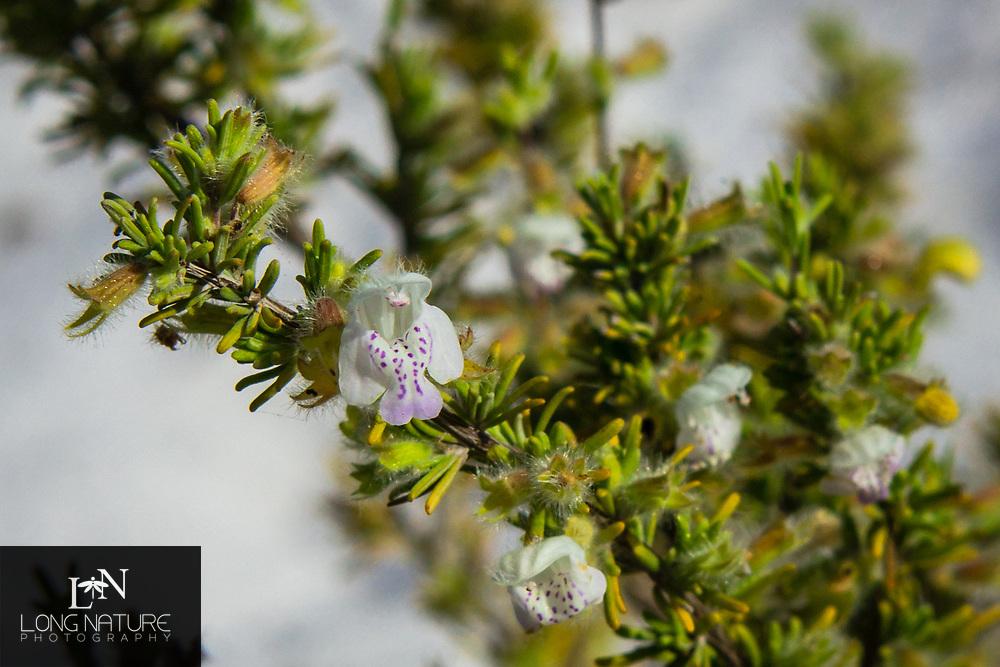 Conradina brevifolia-False rosemary