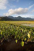 Taro field, Hanalei Valley,Kauai, Hawaii