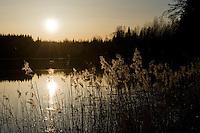 11.04.2009.Landscape with Common Reed (Phragmites australis) in sunset..Bergslagen, Sweden.