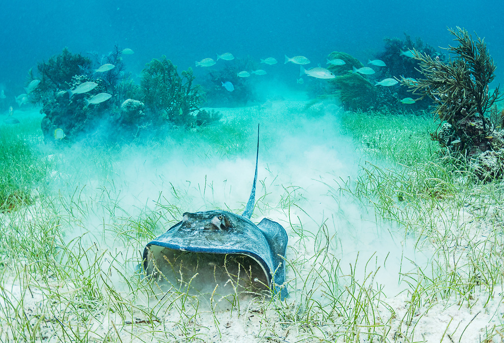 A southern stingray (Dasyatis americana) feeding in a seagrass (Syringodium filiforme) meadow near a coral reef in The Bahamas