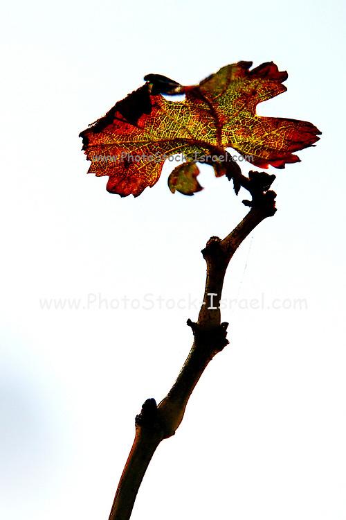 Orange, Red and brown autumn coloured vine leaf
