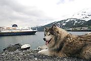 Malemute in Whittier Alaska meeting the state Ferry along the Alaska Marine Highway