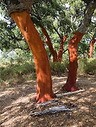 Red tree trunks freshly harvested bark Quercus suber, Cork oak, Sierra de Grazalema natural park, Cadiz province, Spain