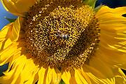 Nederland, Wekerom, 10-9-2015Zonnebloem met bij. Sunflower with bee.FOTO: FLIP FRANSSEN/ HH