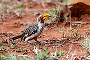 Southern yellow-billed hornbill (Tockus leucomelas) feeding on a centipede in Kruger NP, South Africa.