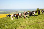 A line of bullocks standing on chalk downland on Milk Hill, Alton Barnes, Wiltshire, England