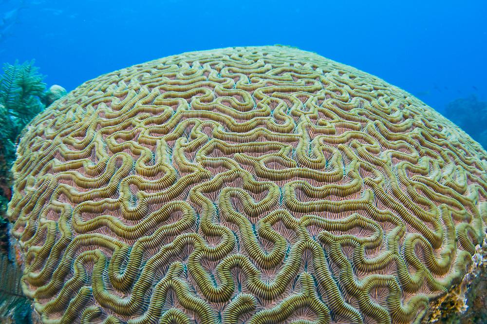 Brain Coral (Diploria sp.) in the barrier reef in Belize, Central America, Caribbean Sea