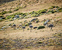 Lesser rhea along the road while traveling from Estancia Lazo to Hosteria Lago Grey. Torres del Paine National Park, Chile. Image taken with a Nikon D3s camera and 70-300 mm VR lens (ISO 200, 300 mm, f/9, 1/320 sec).