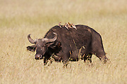 An African Buffalo or Cape Buffalo (Syncerus caffer) with Yellow-billed Oxpecker (Buphagus africanus) birds on its back