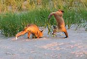 Red Fox Handstand Attack