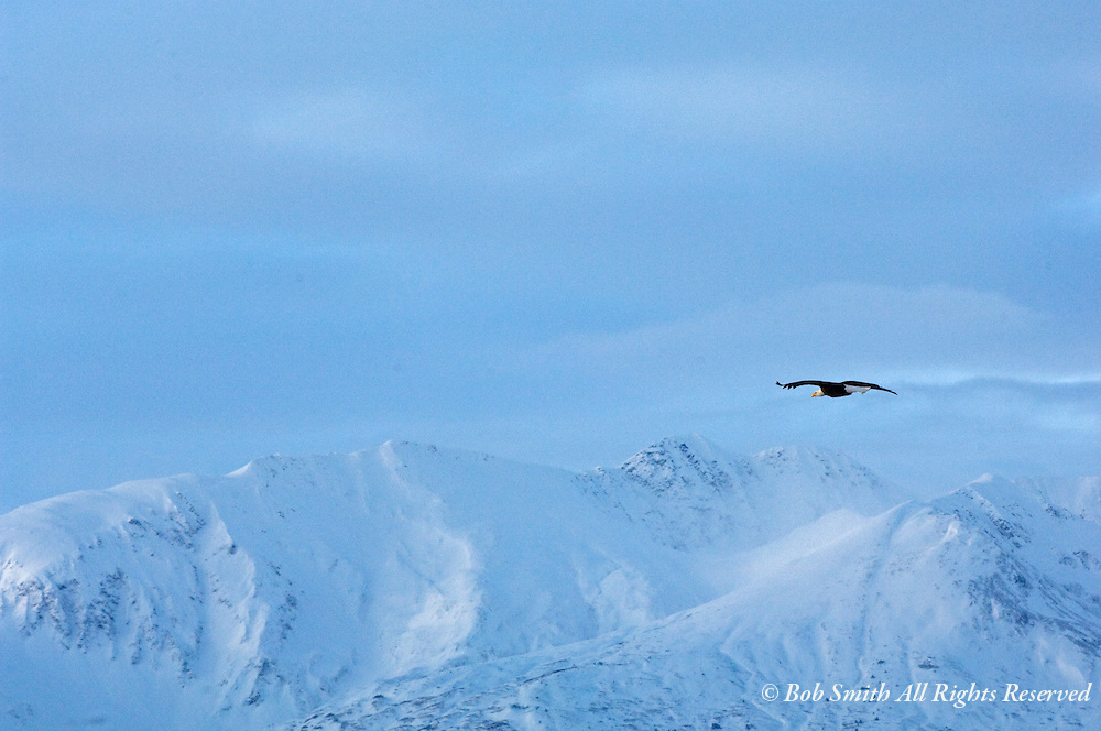 A solitary bald eagle soars over the snow covered Chilkat Mountain Range, Alaska.