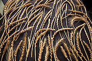 WHEAT, Triticum spp.<br />Showcase: colored spring wheat breeding lines<br />Breeder: Colin Curwen-McAdams and Stephen Jones, Washington State University<br />Chef: Mel Darbyshire, Grand Central Baking<br />Dish 1: Focaccia with the purple wheat<br />Dish 2: Two types of shortbread: Blue Wheat and Red Wheat, 'Skagit 1109'