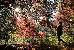 © Licensed to London News Pictures. 08/10/2015. Godalming, UK. Early morning sun shines through the Acer trees at Winkworth Arboretum.  Photo credit: Peter Macdiarmid/LNP