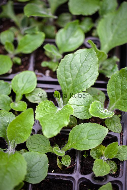 Digitalis mertonensis seedlings