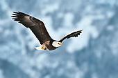 Eagles, hawks, owls, etc.