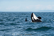 southern resident orca, or killer whale, Orcinus orca, doing a half breach or lazy breach, off southern Vancouver Island, Strait of Juan de Fuca, British Columbia, Canada ( Eastern North Pacific Ocean )