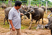 25 JUNE 2011 - SANPATONG, THAILAND: A man pulls the buffalo he just bought away from the sales area at the Sanpatong buffalo market near Chiang Mai, Thailand, June 25. The buffalo market in Sanpatong started as a weekly gathering of farmers and traders buying and selling water buffalo, the iconic beast of burden in Southeast Asia, more than 60 years ago and has grown into one of the largest weekend markets in northern Thailand. Buffalo and cattle are still a main focus of the market, but traders also buy and sell fighting cocks, food, clothes, home brew and patent medicines.   PHOTO BY JACK KURTZ