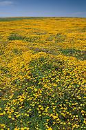 Field of yellow wildflowers bloom in spring at Frazer Point, Santa Cruz Island, Channel Islands, California